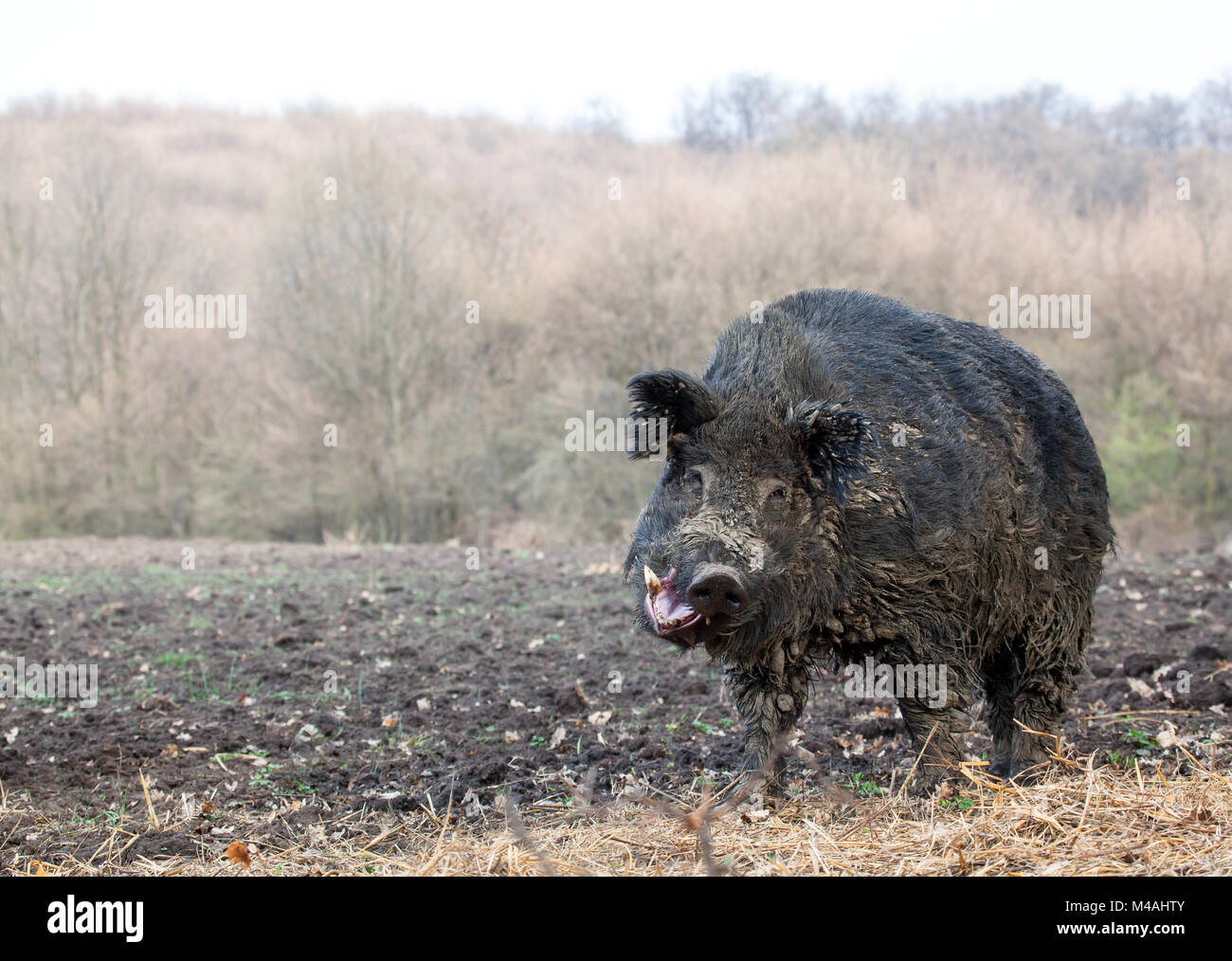 Giant Wild boar Stock Photo: 174795851 - Alamy