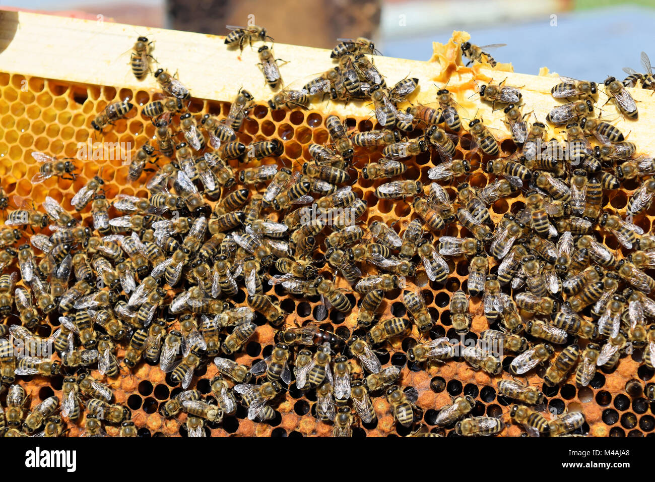 A hive frame covered with honey bees - Stock Image