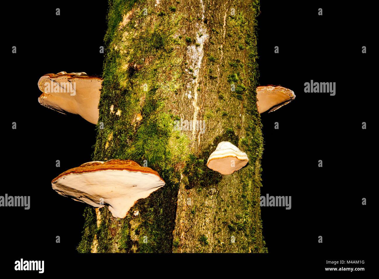 tinder fungus, Fomes fomentarius, - Stock Image
