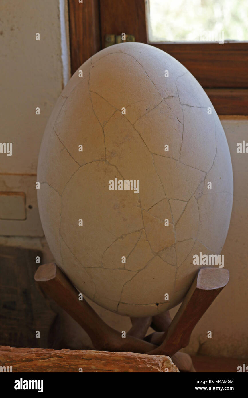 Elephant Bird (Aepyornis sp) egg reconstructed from fragments, extinct species  Auberge de la Table, Tulear, Madagascar - Stock Image