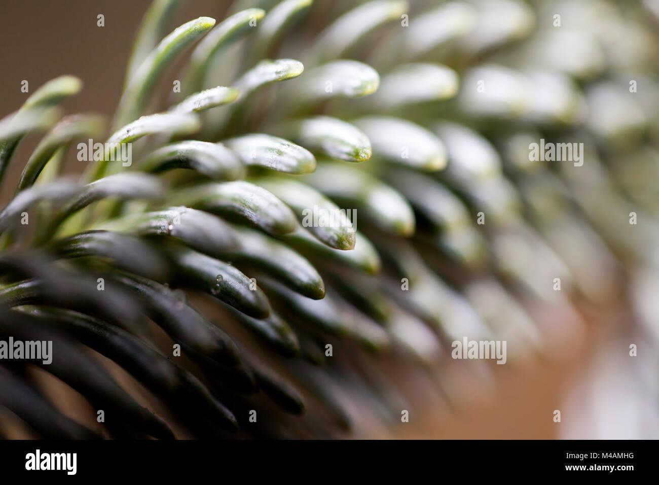Detail of a Nordmann fir, Abies nordmanniana, - Stock Image