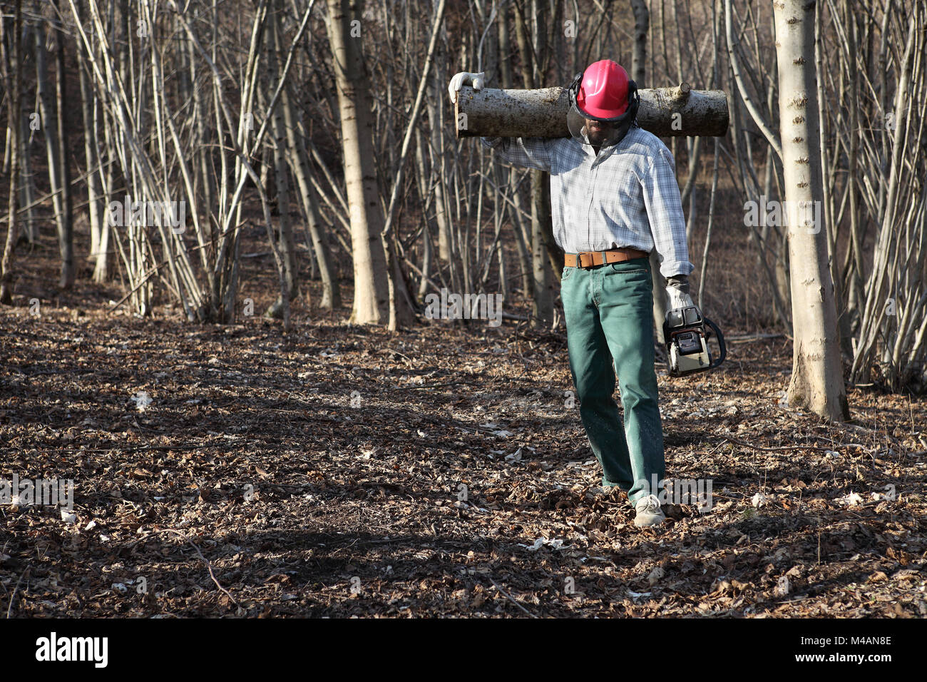 Lumberjack woodcutter with chainsaw carrying logs of big tree in the autumn forest - Stock Image