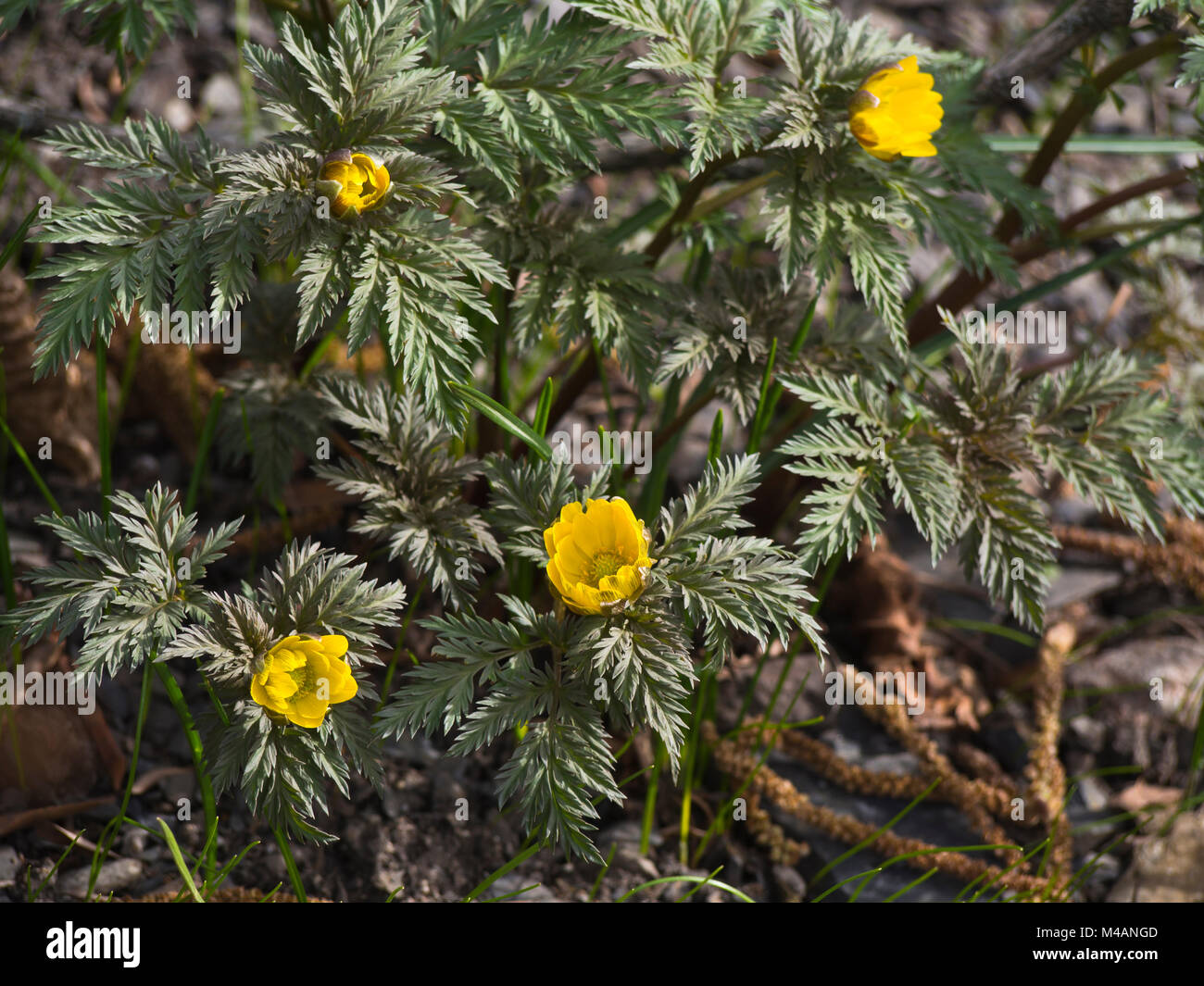 Pheasant's eye or Adonis amurensis, a perennial plant native to eastern Asian countries, here a springtime sight Stock Photo