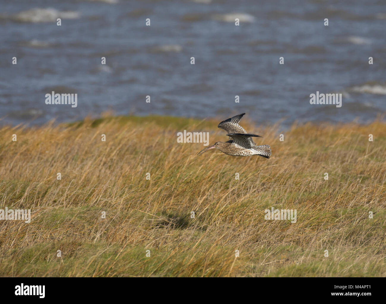 Curlew, Numenius arquata, in flight, Morecambe Bay, Lancashire, UK Stock Photo