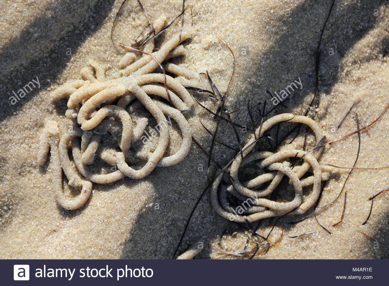 Heaps of Lugworm in the tidal flats at low tide - Stock Image