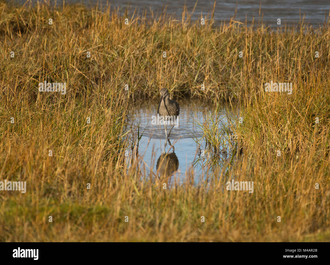 Curlew, Numenius arquata, foraging in salt marsh, Morecambe Bay, Lancashire, UK Stock Photo