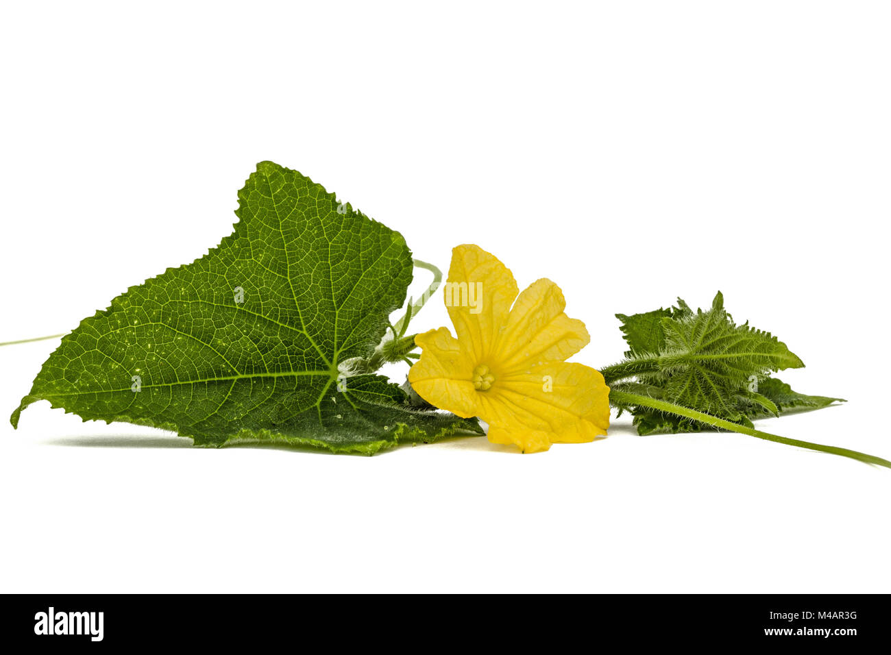 Cucumber Plant Yellow Flower Cut Out Stock Images Pictures Alamy