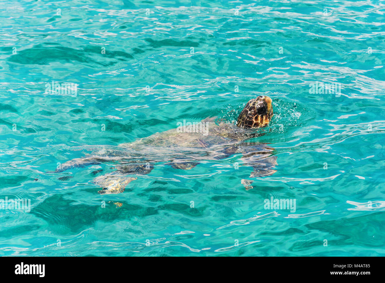 Caretta-Caretta turtle rose to the surface to breathe air - Stock Image