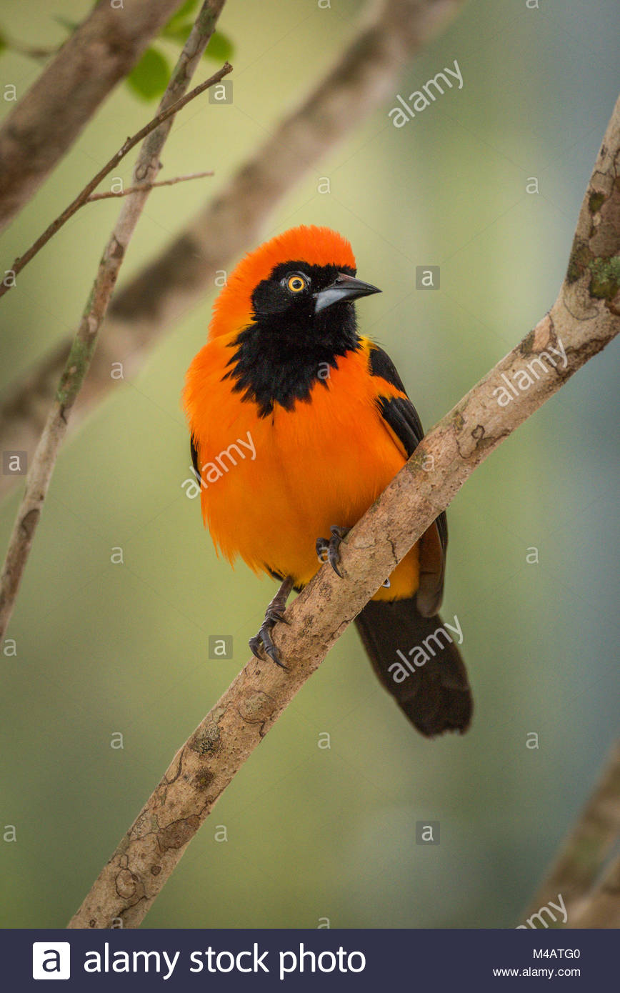 Orange-backed troupial perched on branch looking left - Stock Image