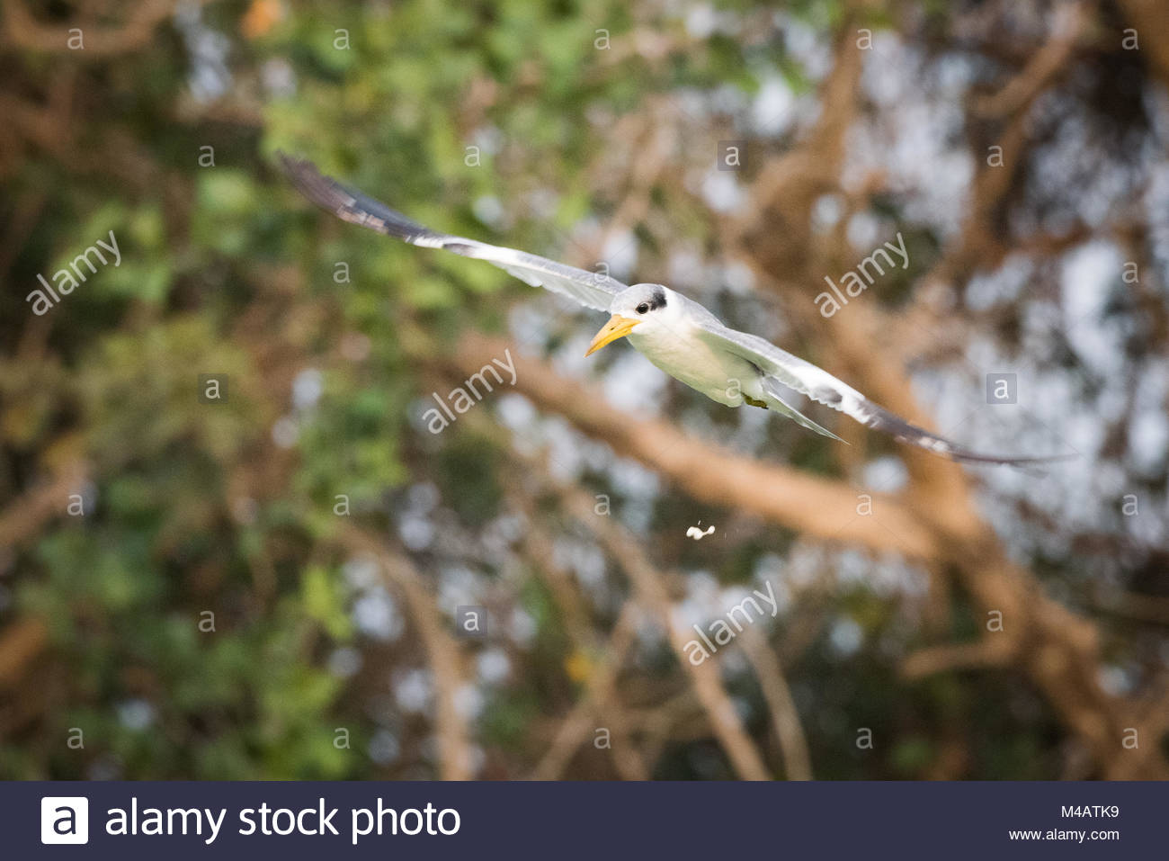 Yellow-billed tern with bird droppings in mid-air - Stock Image