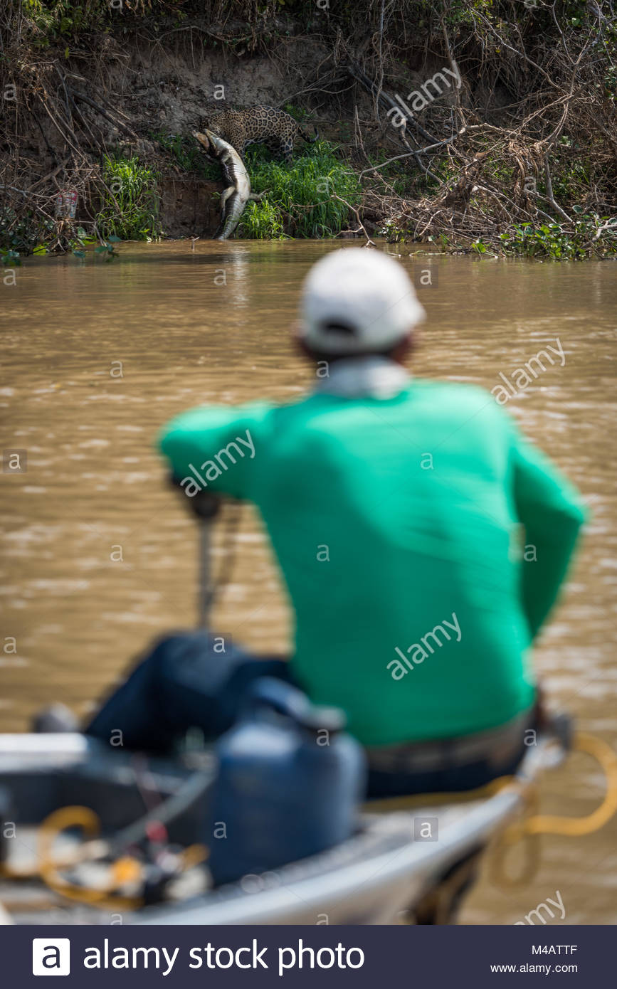 Jaguar pulling yacare caiman watched by boatman - Stock Image