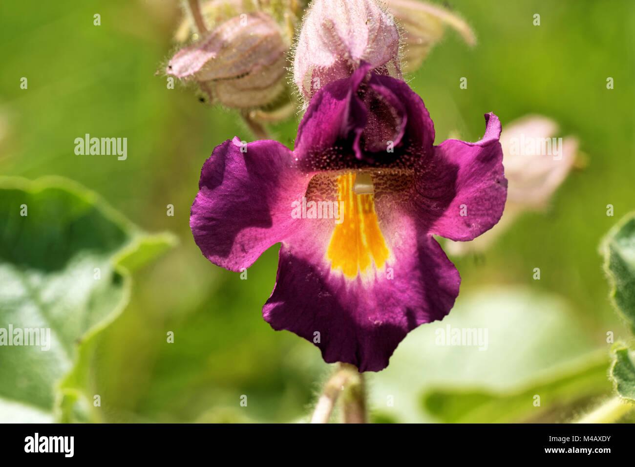 Proboscidea louisianica - Stock Image