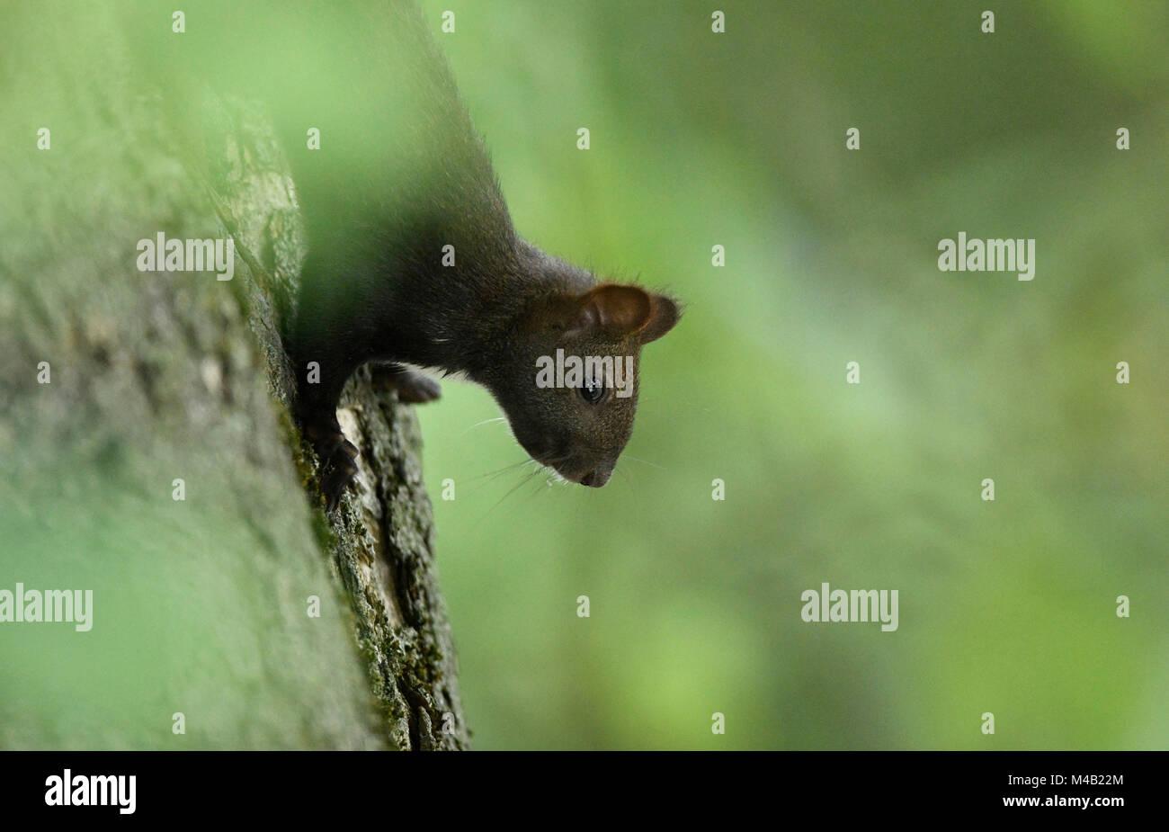 Squirrels (Sciurus vulgaris),melanistic animal,red squirrel,in trunk,Stuttgart,Baden-Wurttemberg,Germany - Stock Image
