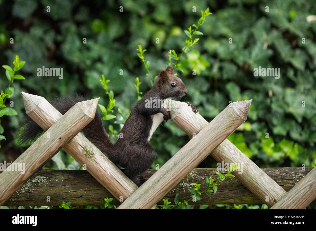 Squirrels (Sciurus vulgaris),melanistic animal,red squirrel, rustic fence,Stuttgart,Baden-Wurttemberg,Germany - Stock Image