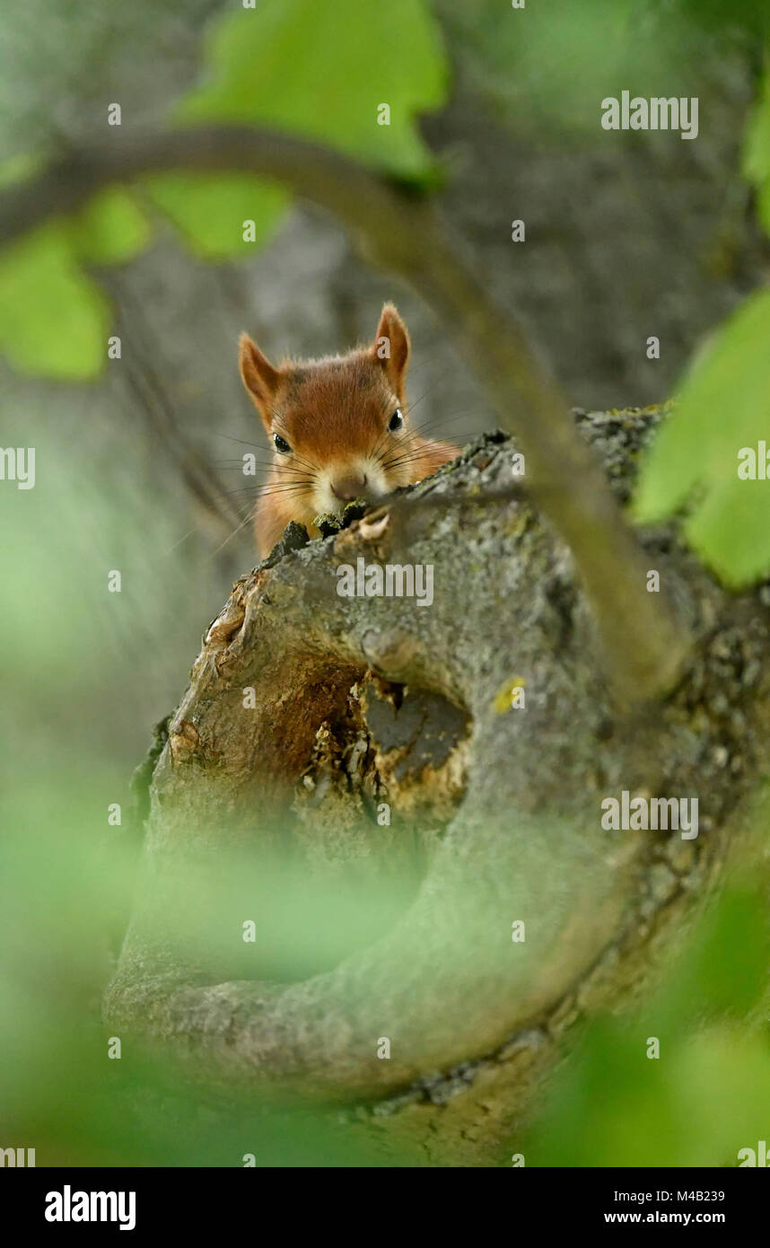 Eurasian red squirrel (Sciurus vulgaris),look naughty out of a trunk,Stuttgart,Baden-Wurttemberg,Germany - Stock Image