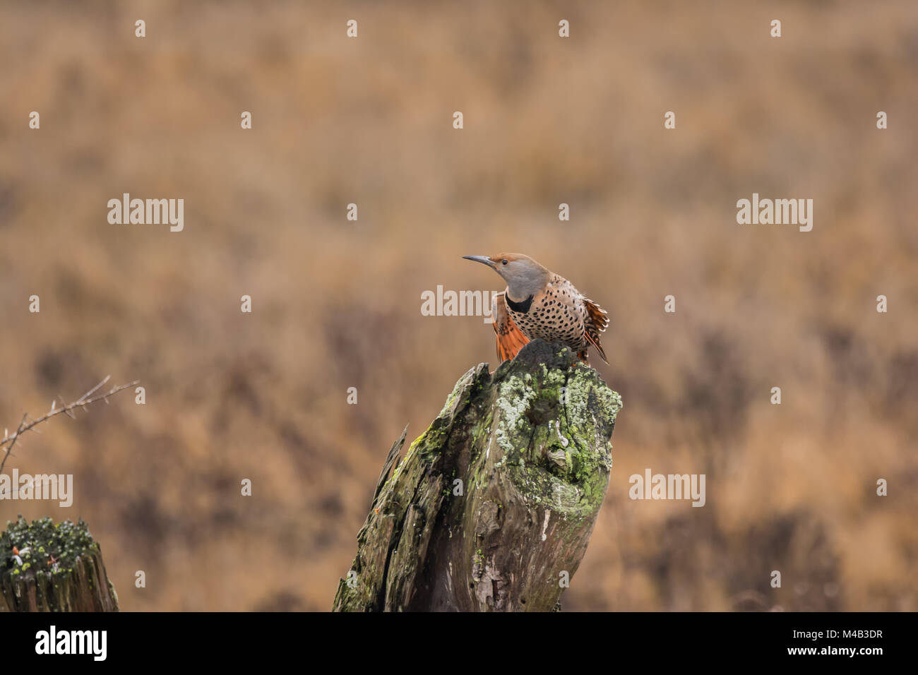 Northern Flicker (Colaptes Auratus) about take off from a log - Stock Image