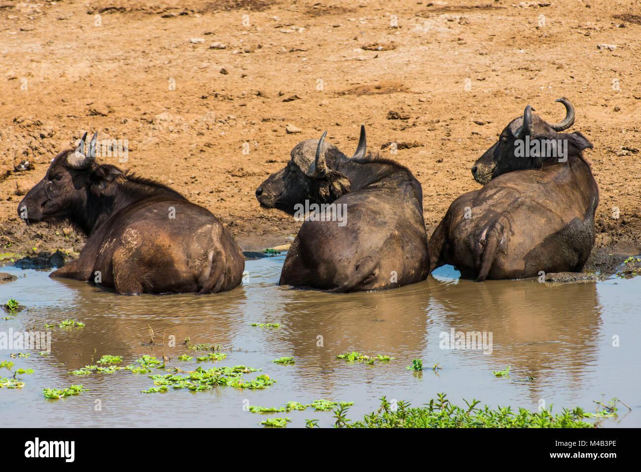 African buffalos or Cape buffalos (Syncerus caffer); Queen Elizabeth National Park,Uganda,Africa - Stock Image