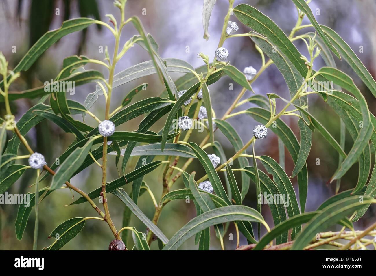 Eucalyptus, Eucalyptus globulus LABILLl, Australia - Stock Image