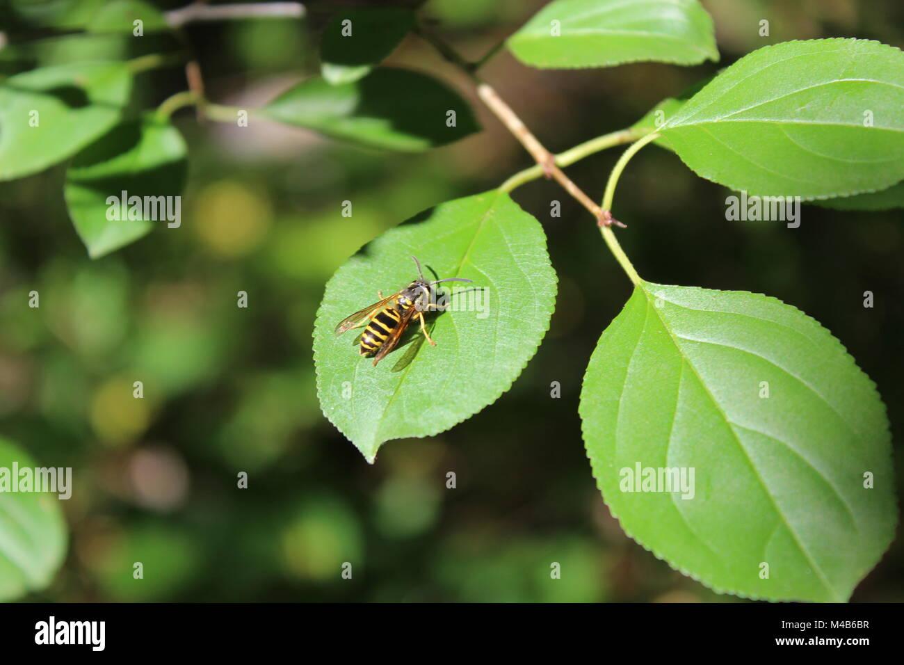 Honey Bee sitting in the sun - Stock Image