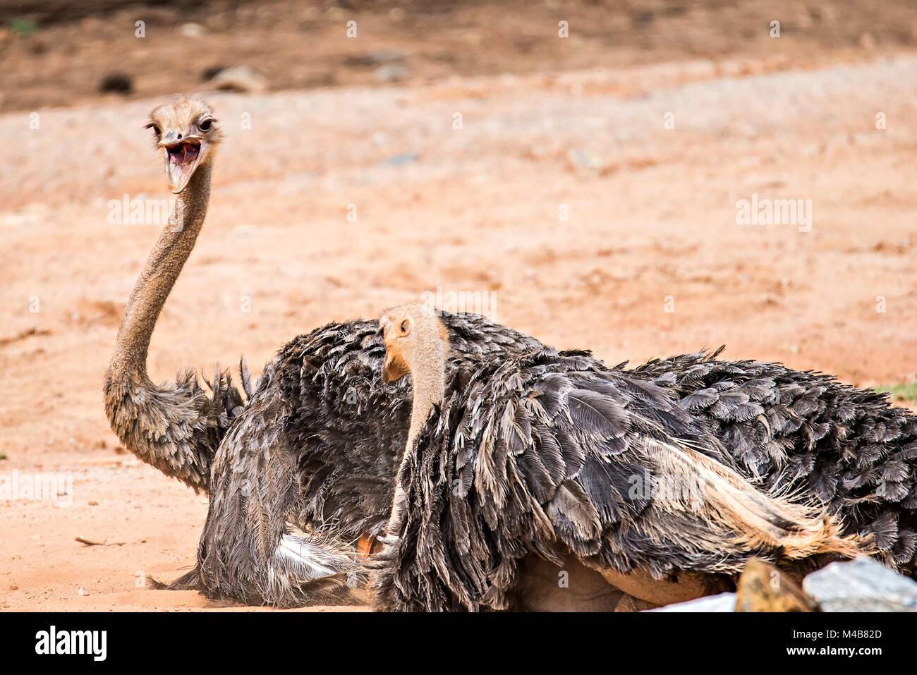 Struthio camelus The ostrich is the world's largest bird species - Stock Image