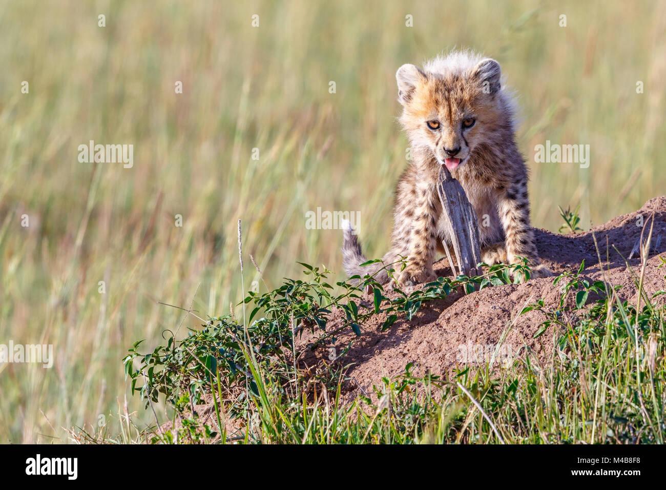 Young cheetah cub licking at a wood stick and looking at the camera - Stock Image
