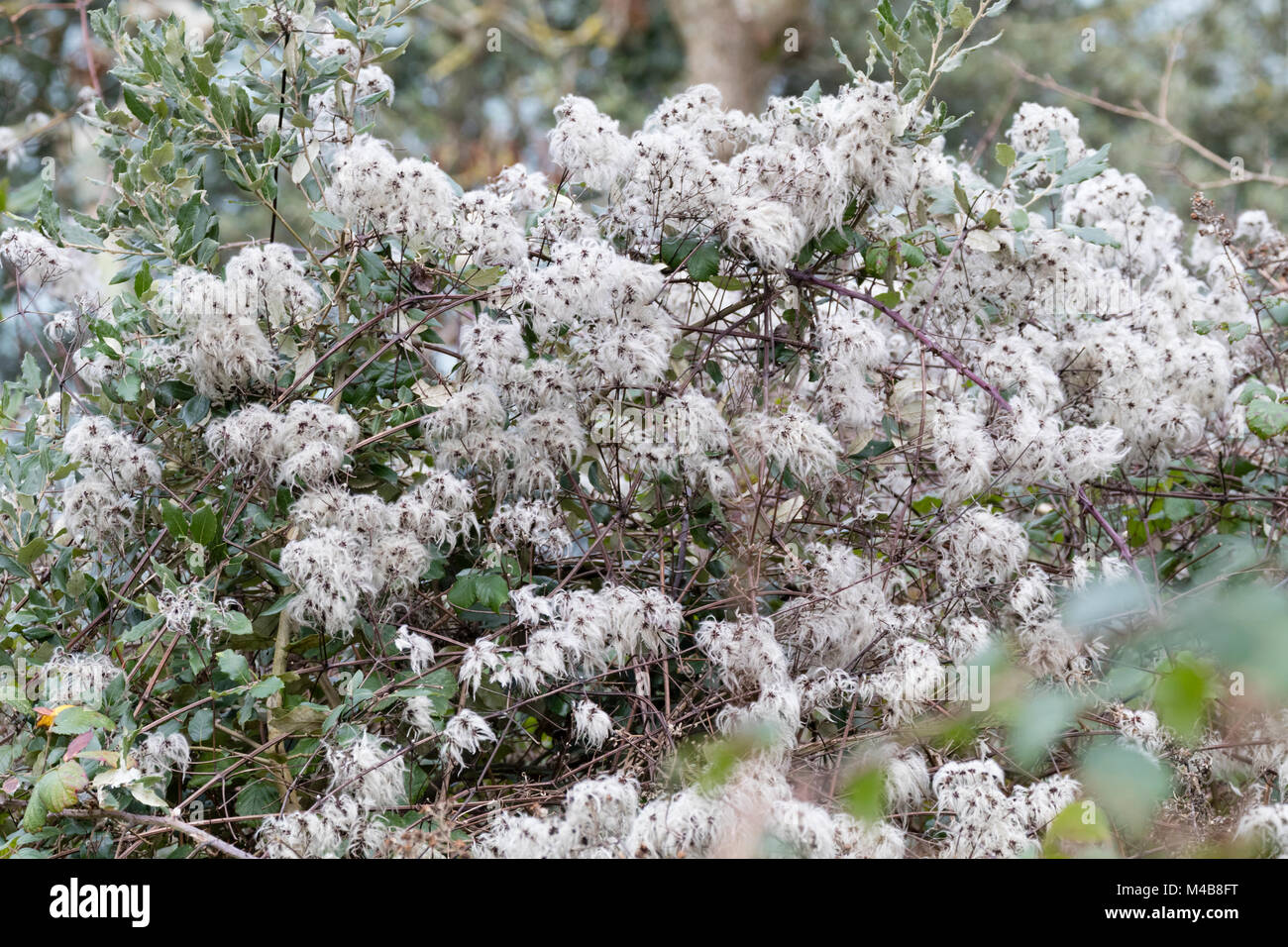 White, fuzzy seedheads of the UK native climber, Clematis vitalba, add winter interest in a woodland - Stock Image