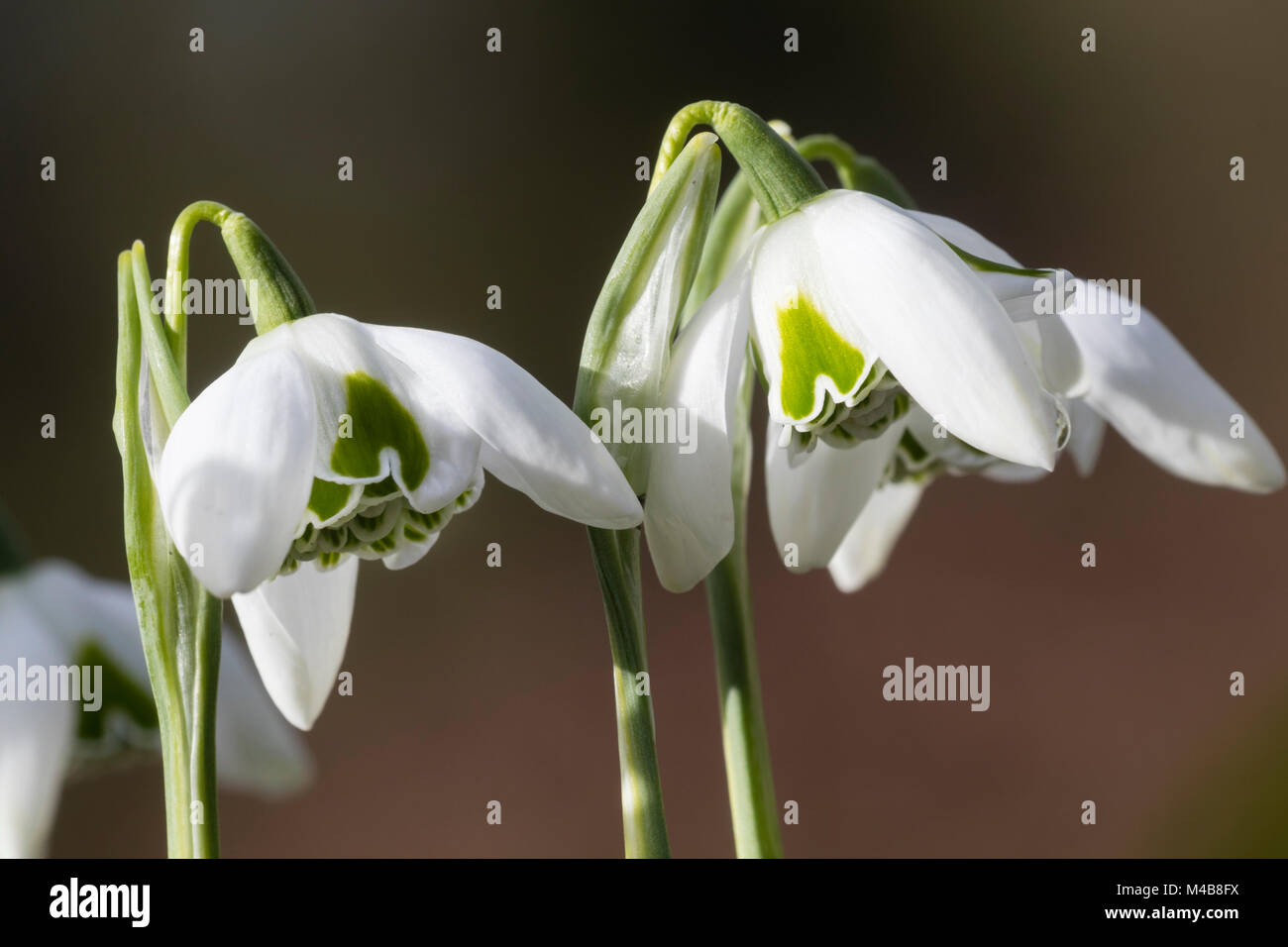 Flowers of the winter flowering double snowdrop, Galanthus 'Esther Merton' showing the doubling of the inner - Stock Image