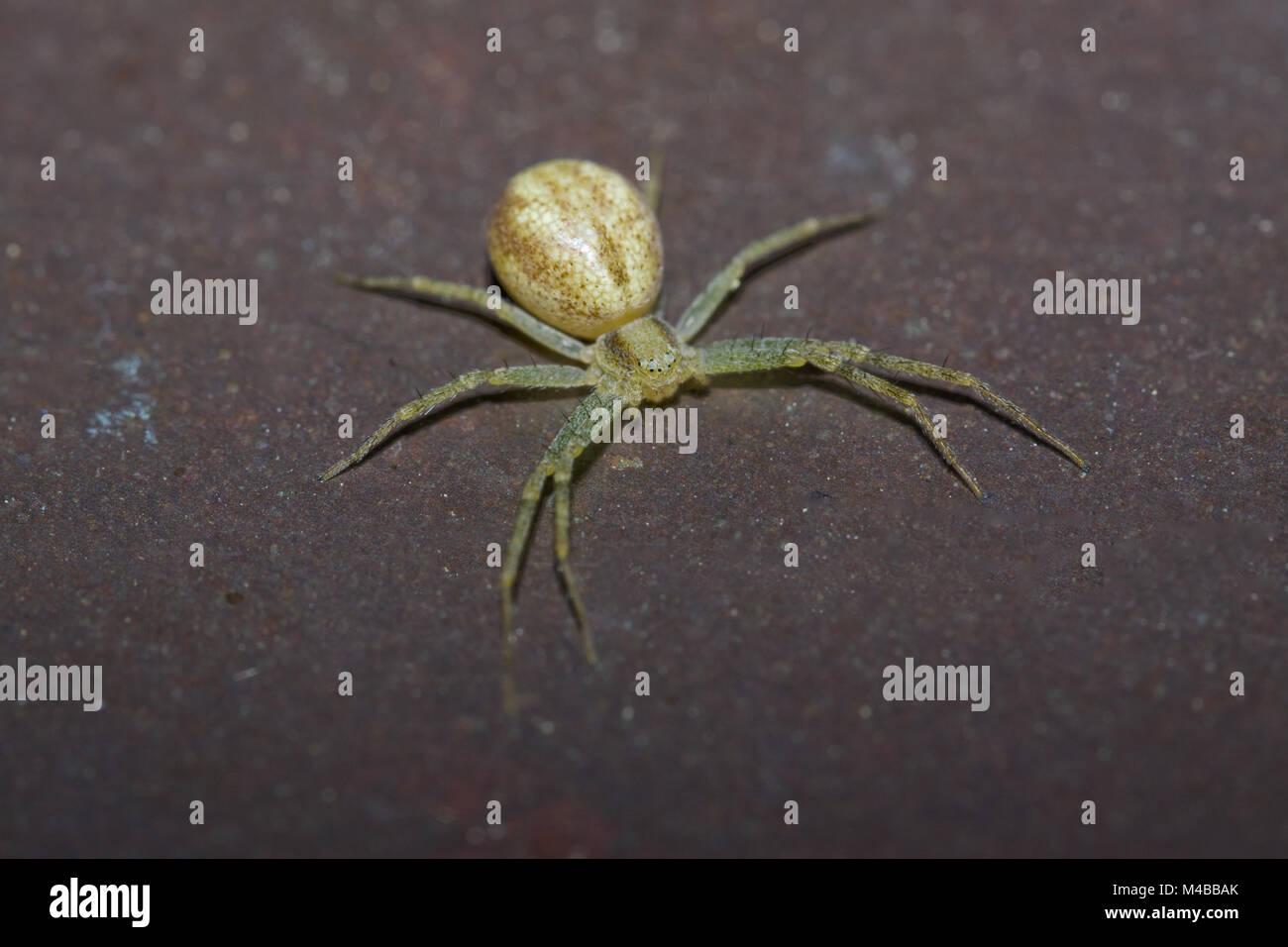 Cobweb Spider Enoplognatha spec.? - Stock Image