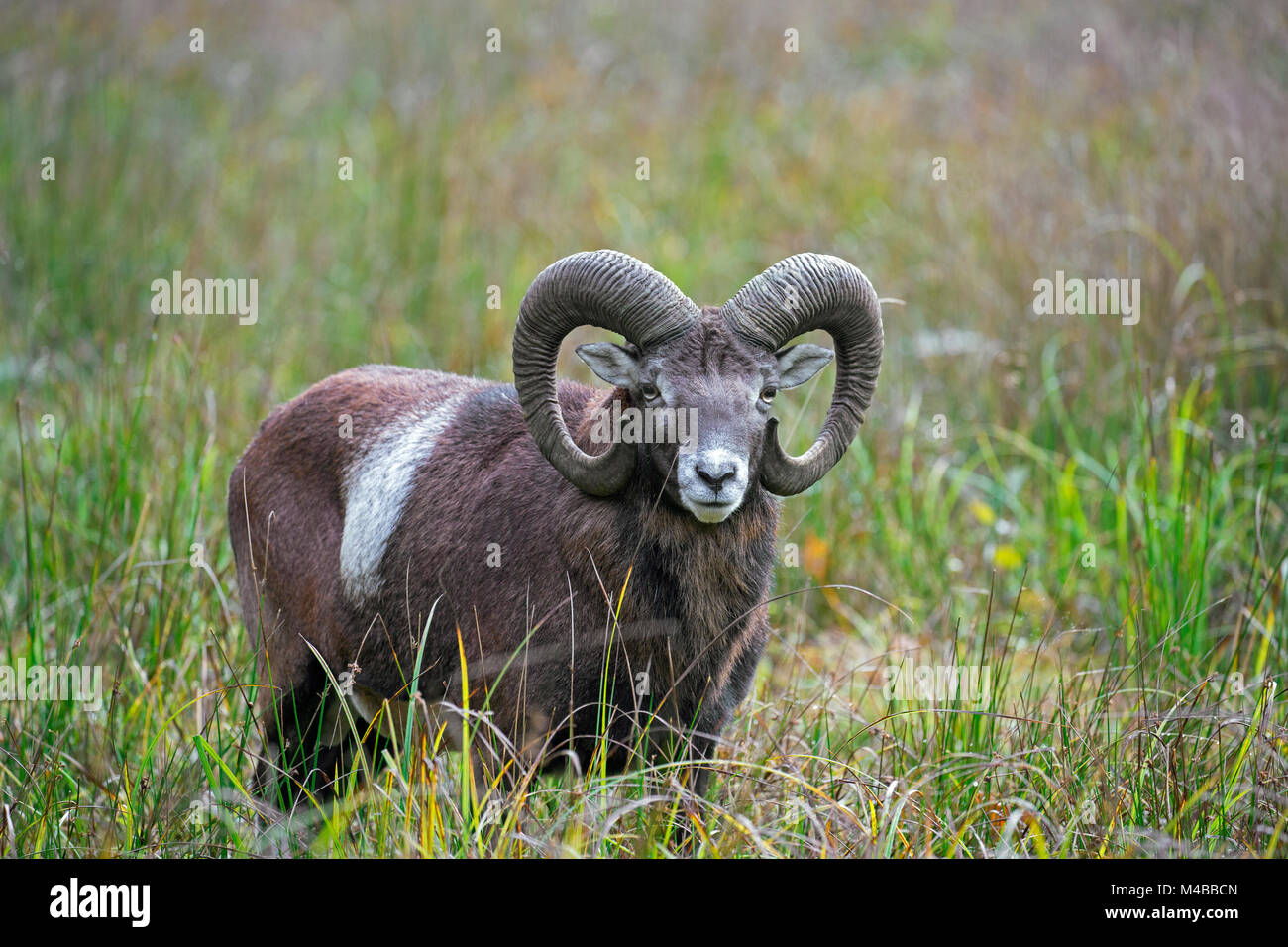 European mouflon (Ovis gmelini musimon / Ovis ammon / Ovis orientalis musimon) ram with big horns in grassland in - Stock Image
