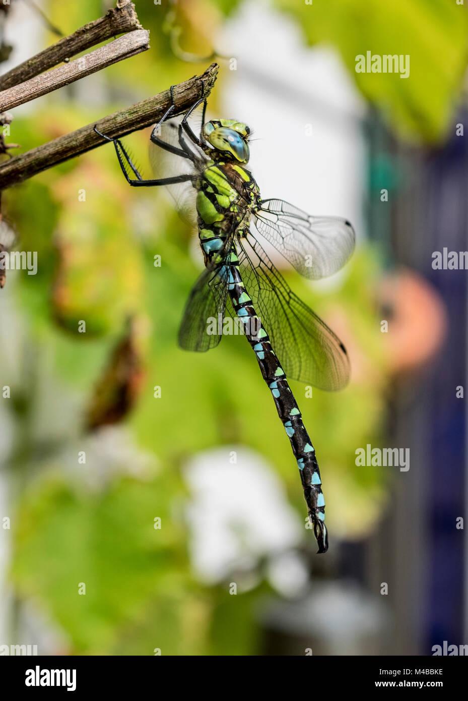 Libelle an einem Busch sitzend als Makrofoto - Stock Image