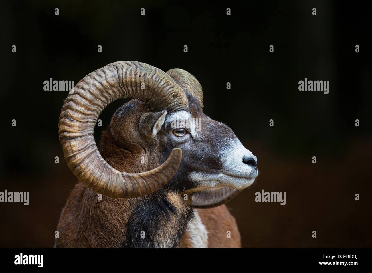 European mouflon (Ovis gmelini musimon / Ovis ammon / Ovis orientalis musimon) close up portrait of ram with big - Stock Image