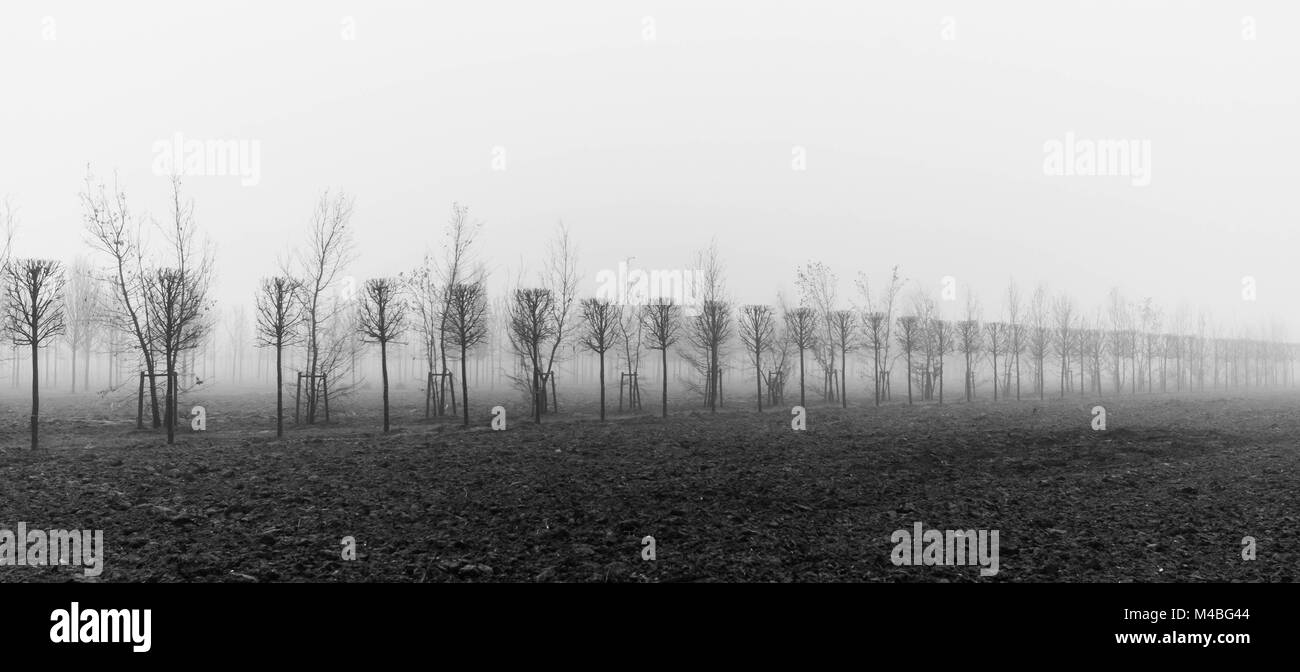 trees at a plantation disappear in morning fog - Stock Image