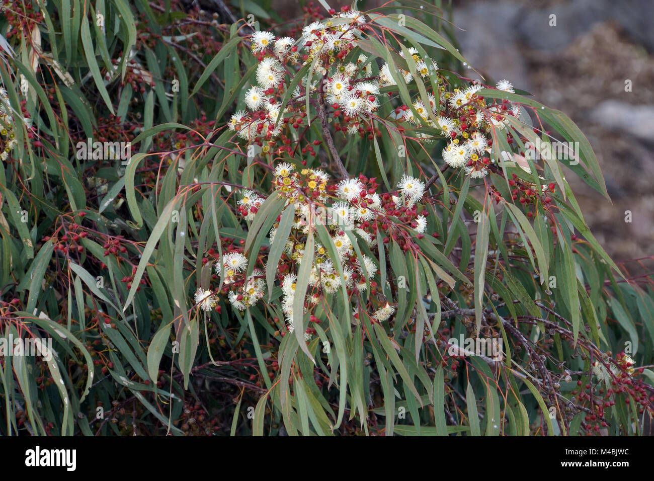 fever tree, blue gum tree - Eucalyptus globulus - Stock Image
