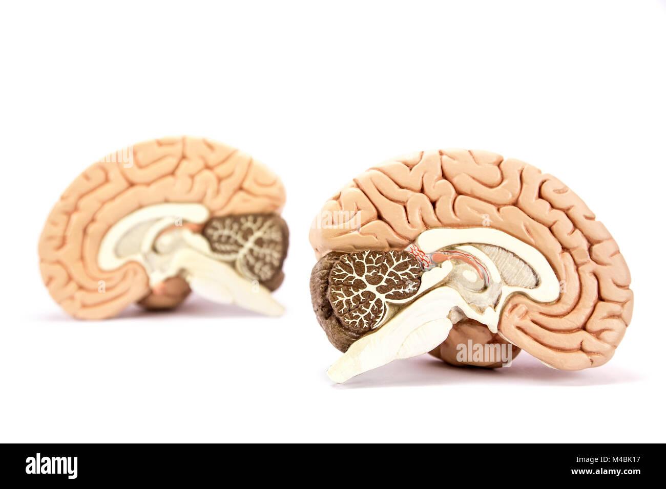Human brains model isolated on white background - Stock Image