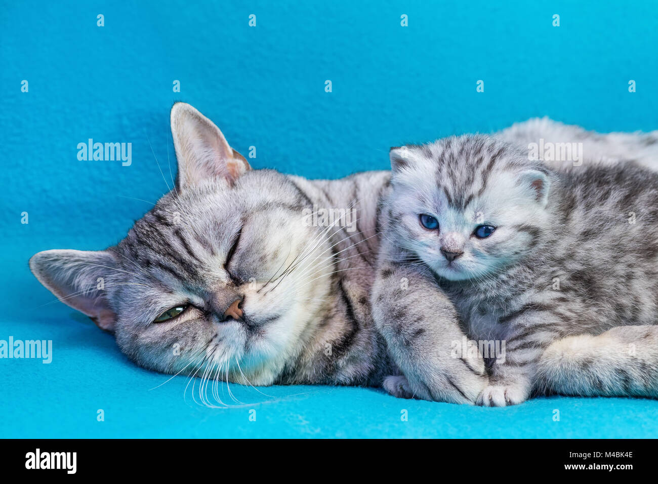 Mother cat lying with kitten on blue garments - Stock Image