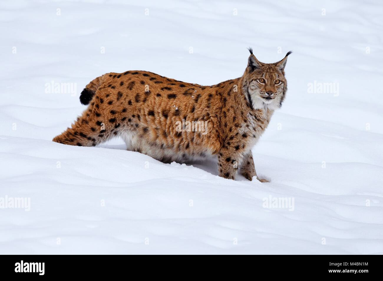 Eurasian lynx (Lynx lynx),standing in the snow,captive,Germany - Stock Image