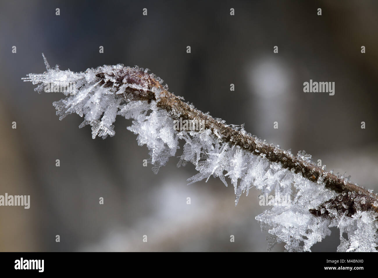 Twig covered with hoarfrost - Stock Image