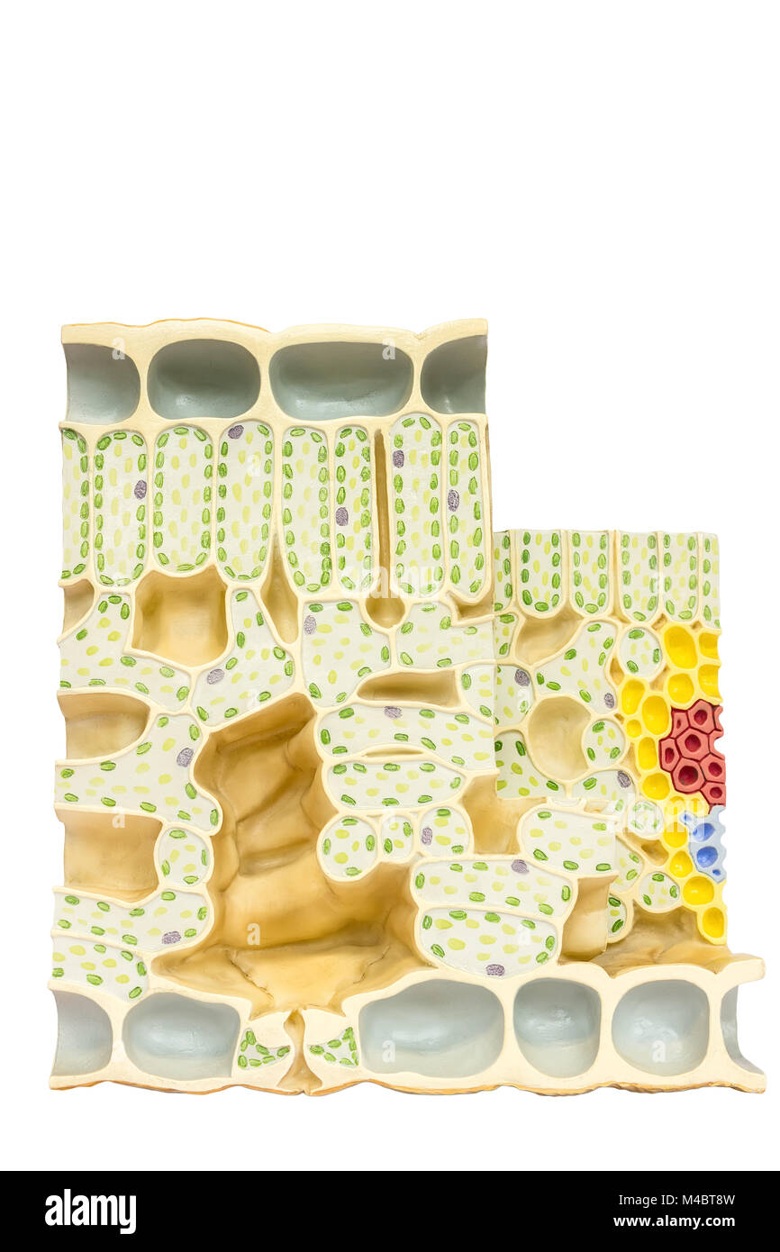Model plant cells with chloroplasts chlorophyll in leaf - Stock Image