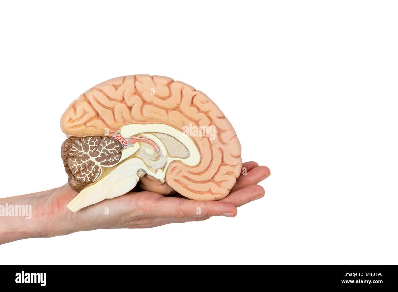 Hand holding brain hemisphere on white background - Stock Image