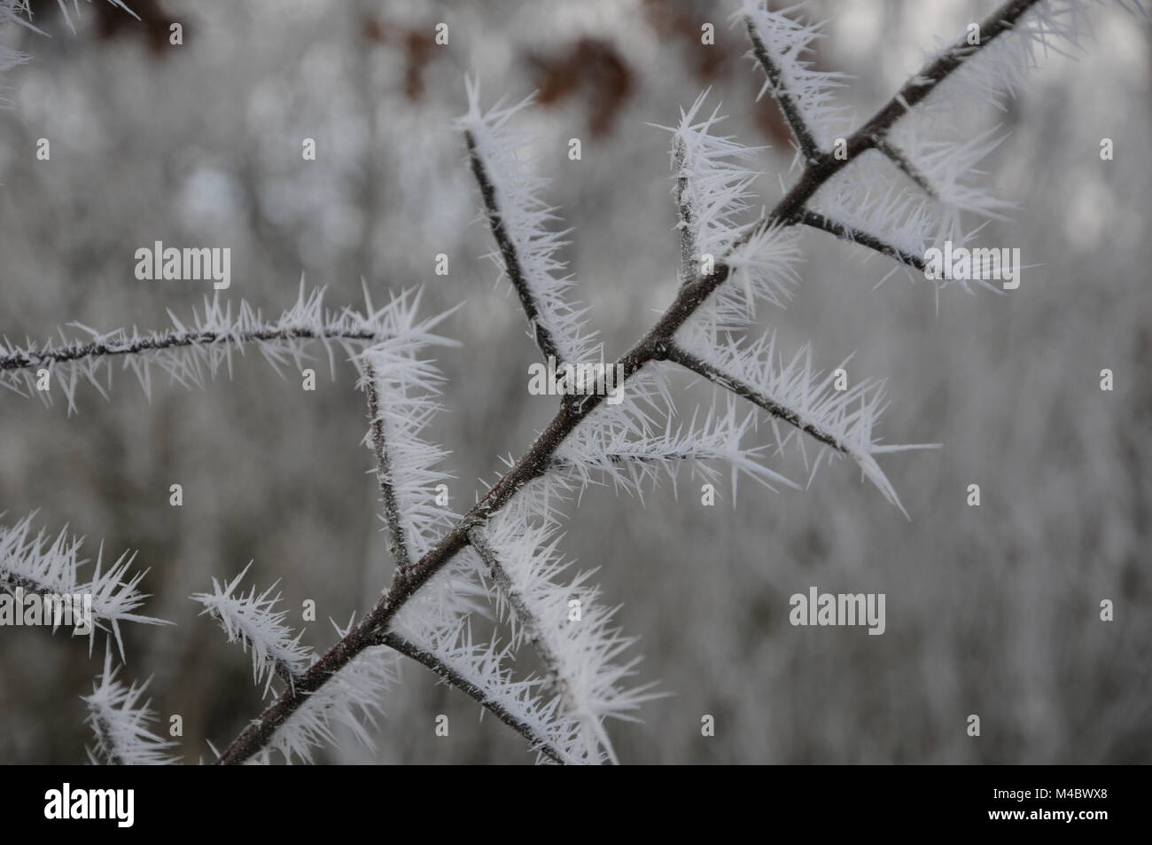 Prunus spinosa, Black Thorn, White Frost, Ice - Stock Image