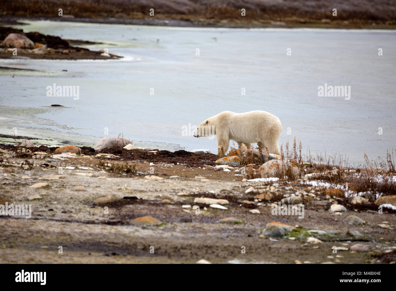 A polar bear at the Hudson Bay on feed search - Stock Image