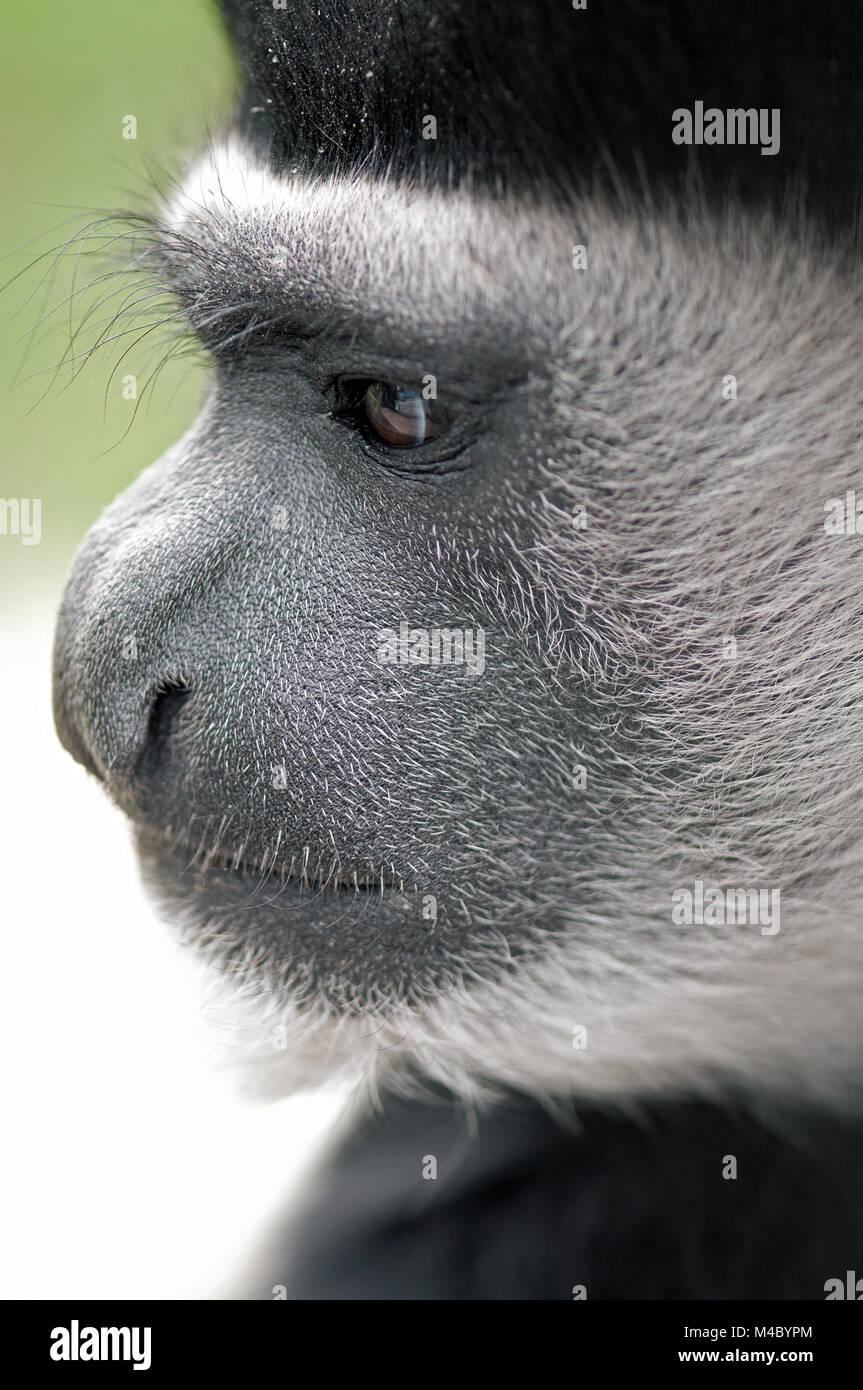 Primate genre - Stock Image