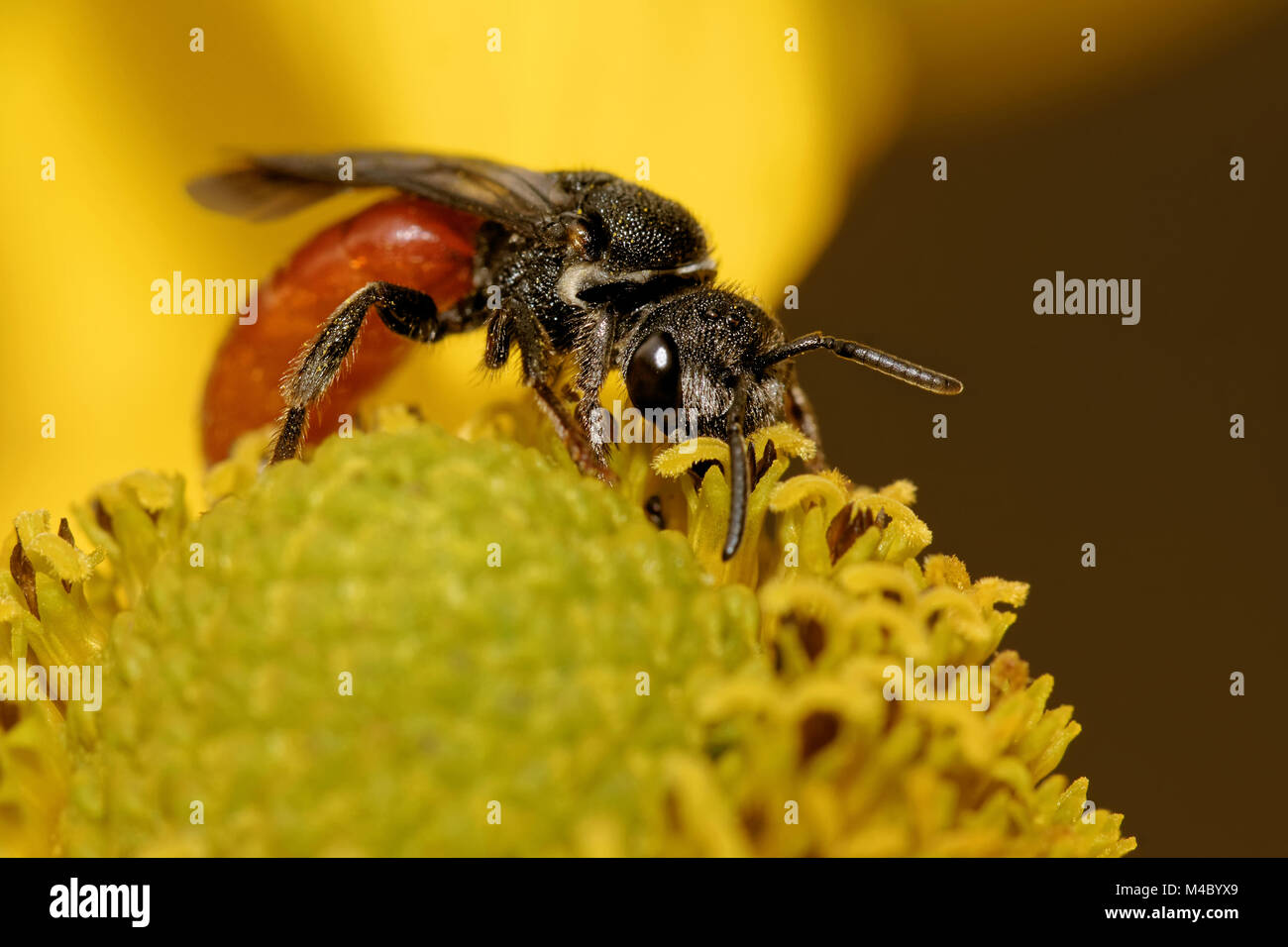 Sphecodes albilabris Stock Photo