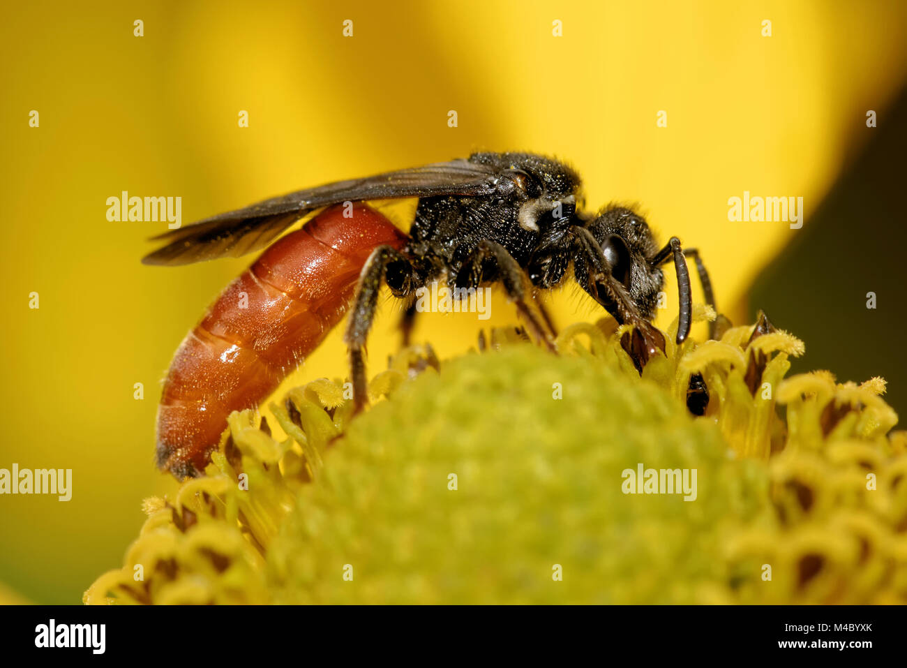 Sphecodes albilabris - Stock Image