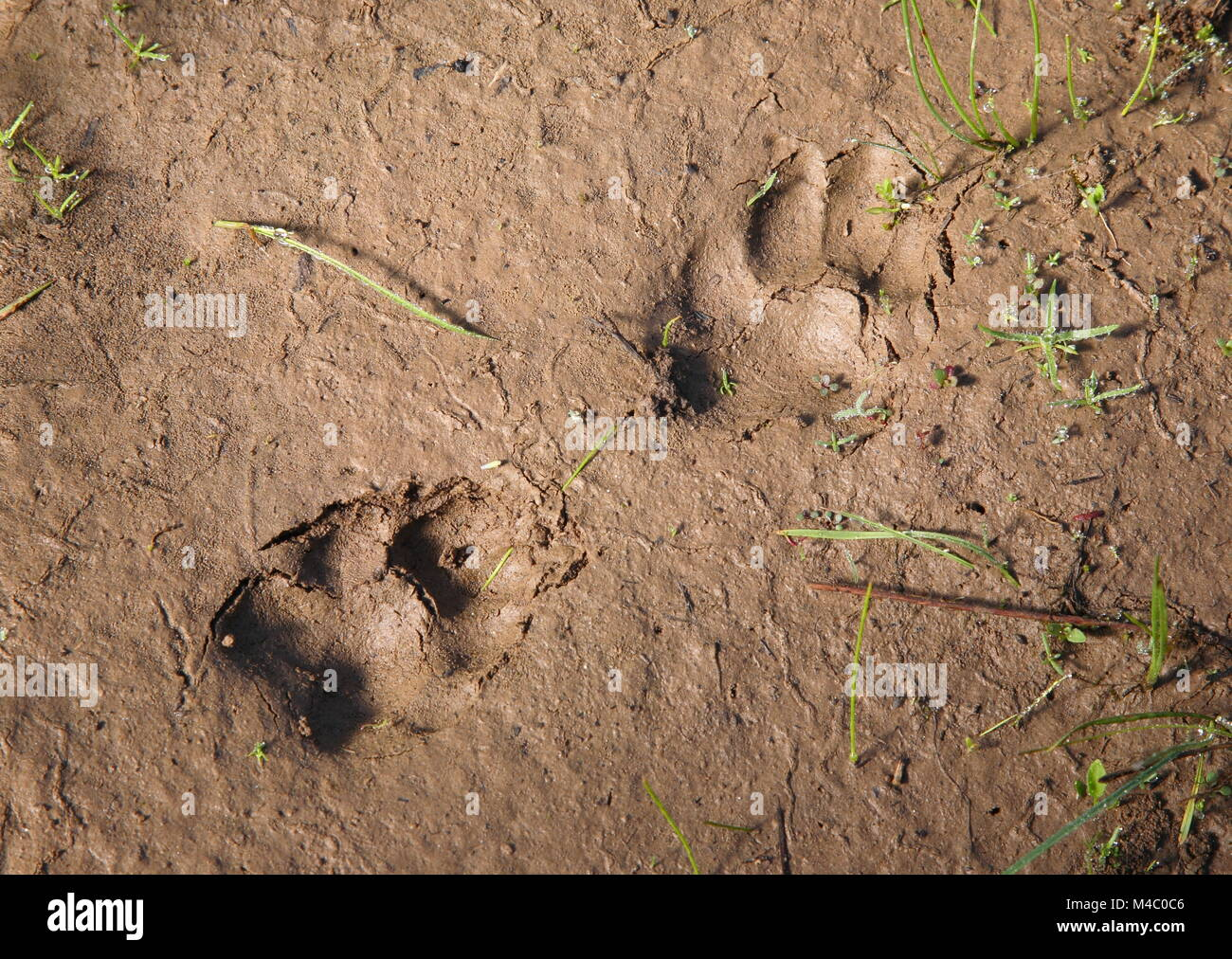 fresh coyote tracks in mud - Stock Image