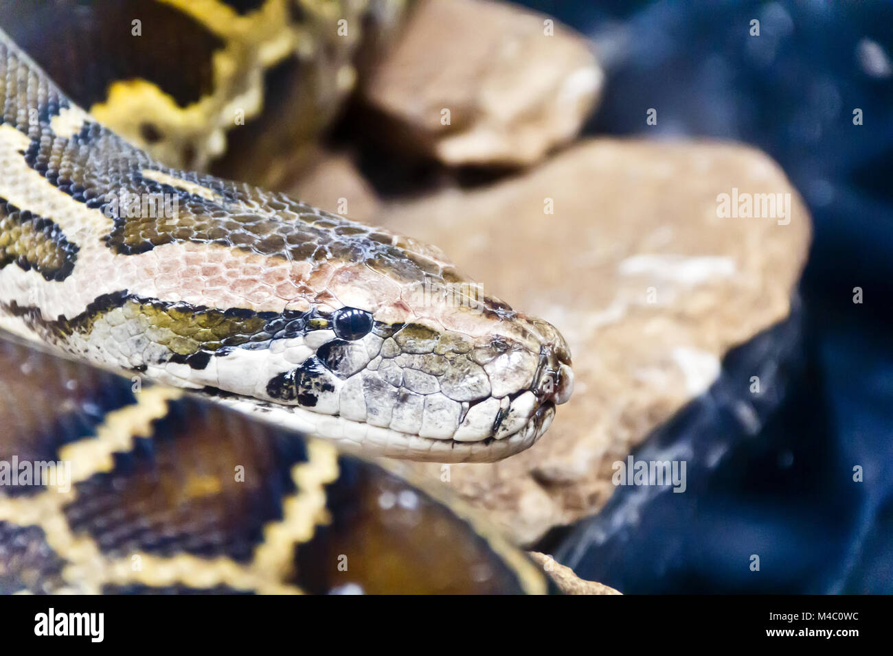 Python head in the midst of stones - Stock Image