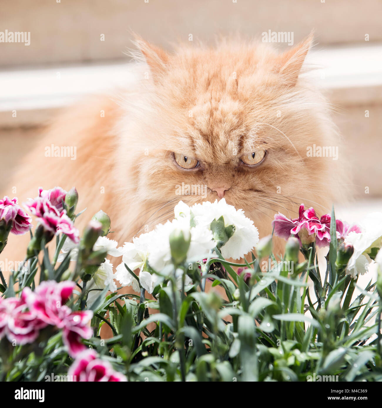 Orange Persian cats with spring flowers Stock Photo