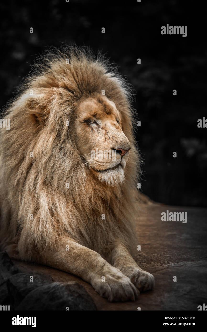 Proud lion portrait Stock Photo