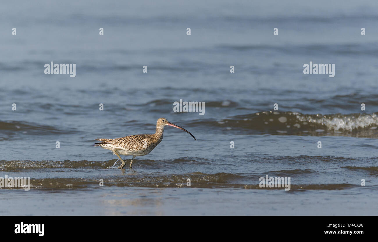 An Eurasian Curlew bird wading and fishing in the sea - Stock Image