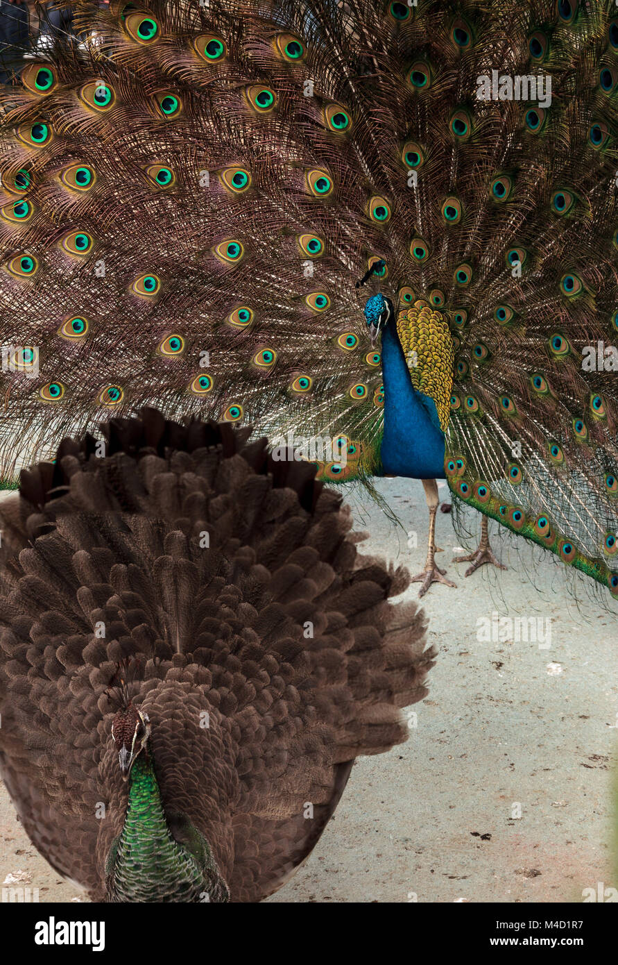 Mating display of a blue and green male peacock - Stock Image